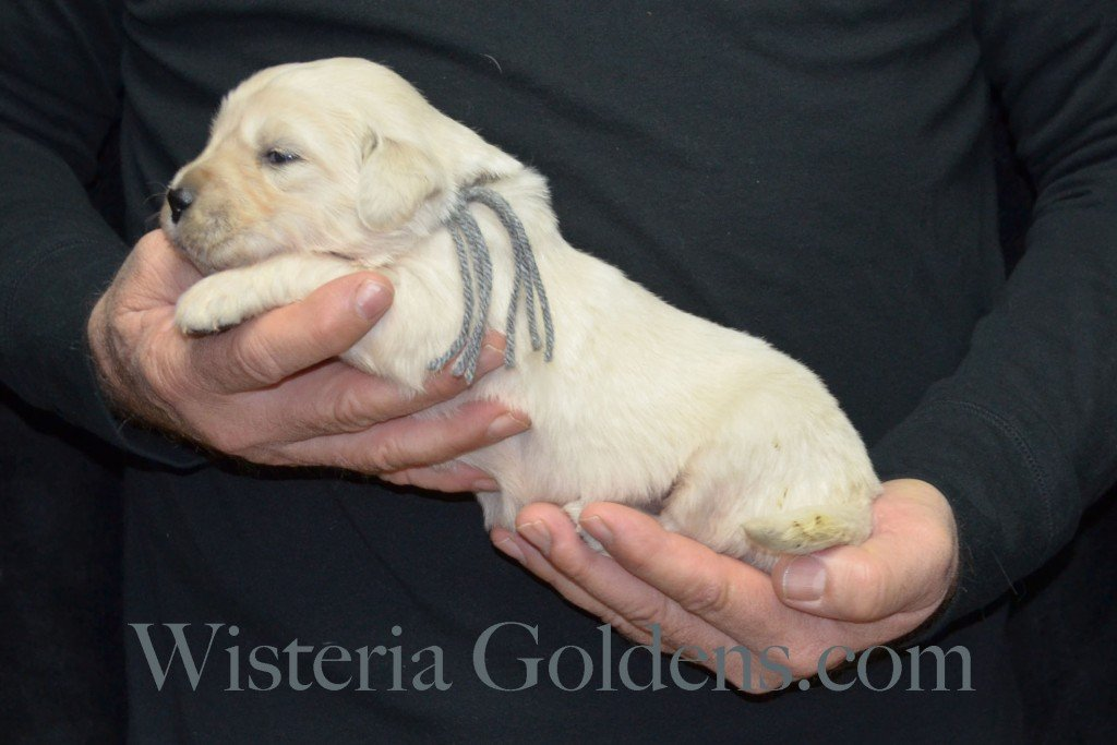 Silver Boy - 3.4 lbs Harmony Litter Harmony-Thor Litter Born 12-30-2015 English Cream Golden Retriever puppies for sale WisteriaGoldens.com