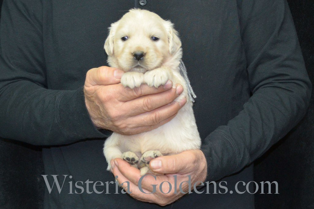 Harmony Litter Four Weeks Pictures Silver Boy - 4.4 lbs Harmony and Thor litter born 12-30-2015 8 Boys and 2 Girls. Ready for their new homes on 2/24/2016. English Cream Golden Retriever Puppies for Sale Wisteria Goldens