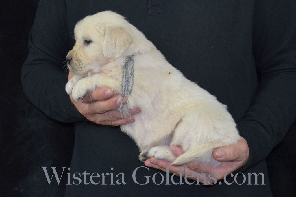 Harmony Litter Silver Boy - 5.2 lbs (Harmony/Thor) Born 12/30/2015. 8 Boys and 2 Girls. Ready for their new homes on 2/24/2016. Visit Harmony's Litter page on Wisteria Goldens for more pictures, availability, and contact information. http://wisteriagoldens.com/available-puppies/english-cream-golden-retriever-puppies-for-sale-harmony-litter/ #englishcreamgoldenretriever #puppiesforsale #harmonylitter