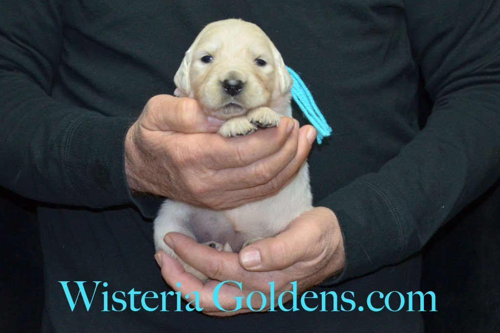 Teal Girl - 2.8 lbs Harmony Litter Harmony-Thor Litter Born 12-30-2015 English Cream Golden Retriever puppies for sale WisteriaGoldens.com