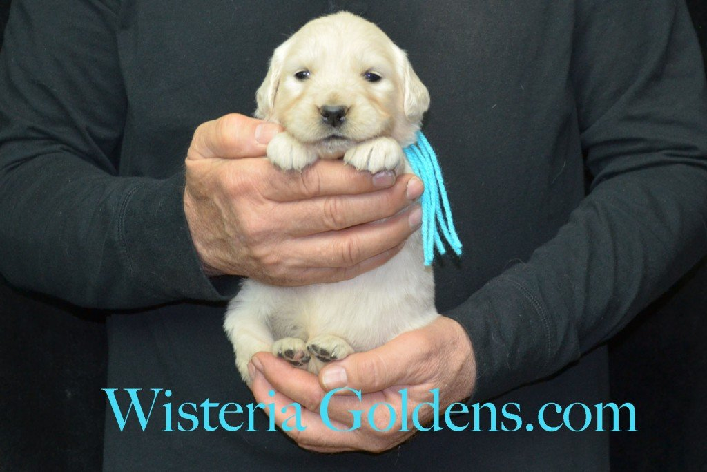 Harmony Litter Four Weeks Pictures Teal Girl - 3.8 lbs Harmony and Thor litter born 12-30-2015 8 Boys and 2 Girls. Ready for their new homes on 2/24/2016. English Cream Golden Retriever Puppies for Sale Wisteria Goldens