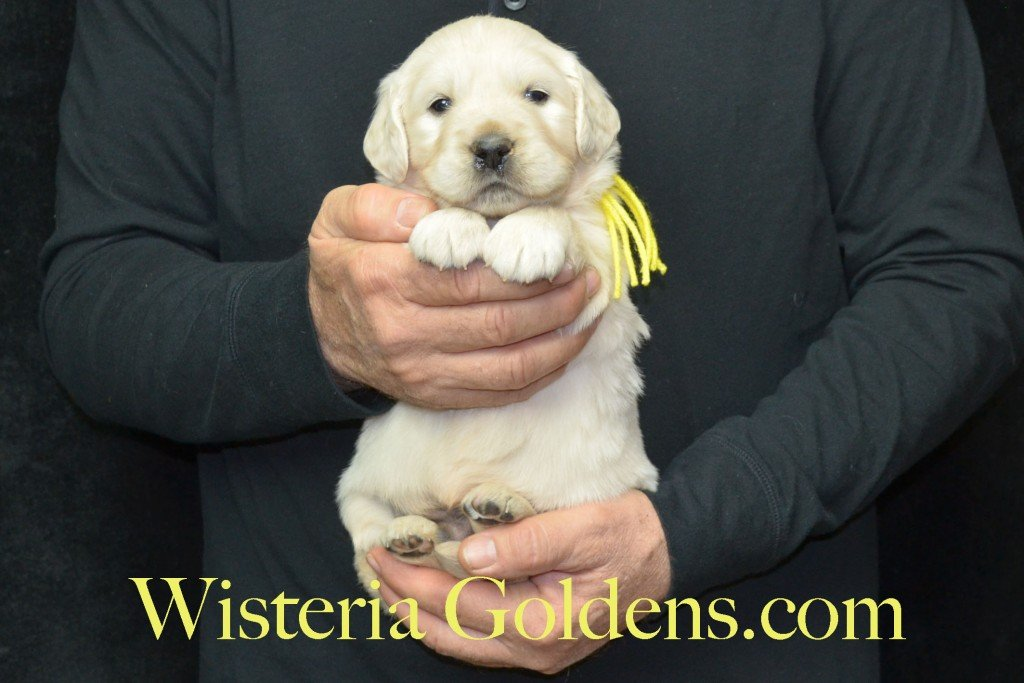 Harmony Litter Four Weeks Pictures Yellow Boy - 5.2 lbs Harmony and Thor litter born 12-30-2015 8 Boys and 2 Girls. Ready for their new homes on 2/24/2016. English Cream Golden Retriever Puppies for Sale Wisteria Goldens