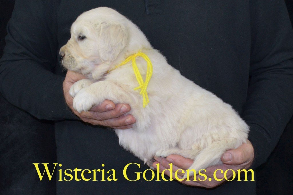 Harmony Litter Yellow Boy - 7.6 lbs (Harmony/Thor) Born 12/30/2015. 8 Boys and 2 Girls. Ready for their new homes on 2/24/2016. Visit Harmony's Litter page on Wisteria Goldens for more pictures, availability, and contact information. http://wisteriagoldens.com/available-puppies/english-cream-golden-retriever-puppies-for-sale-harmony-litter/ #englishcreamgoldenretriever #puppiesforsale #harmonylitter