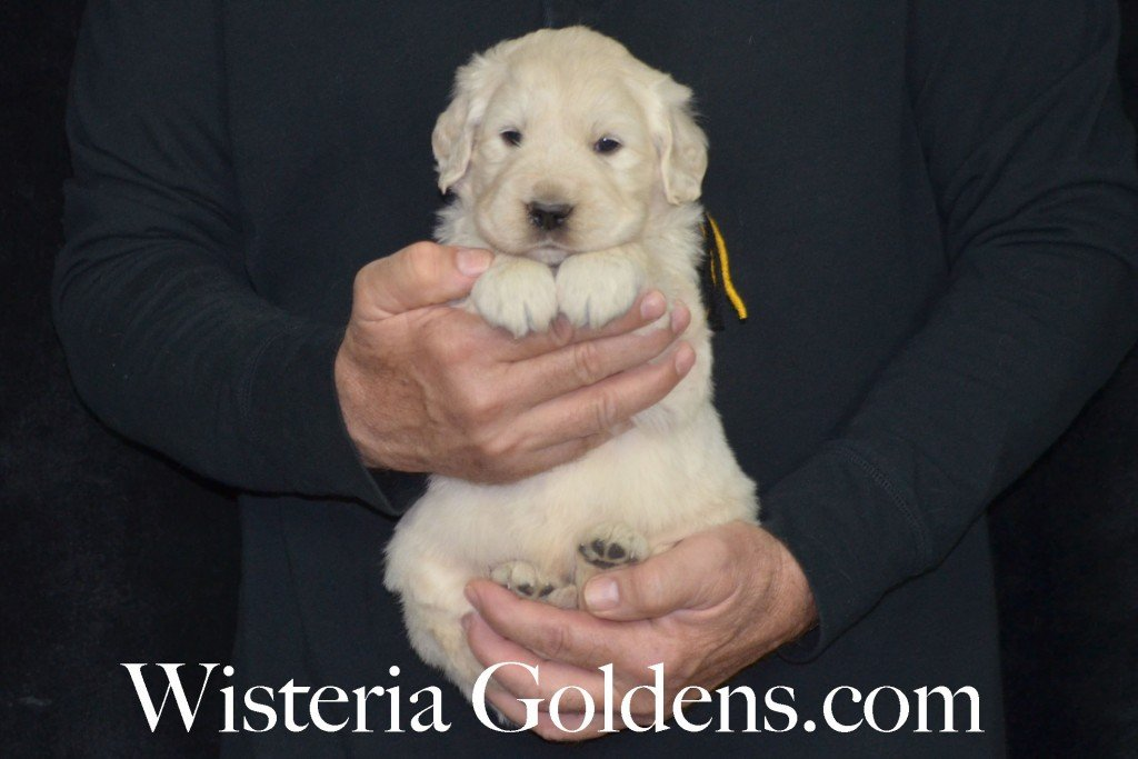 Holly Litter Black Boy - 6.0 lbs Holly/Thor 4 Weeks Pictures Litter Born 01/25/2016 4 girls and 2 boys. Ready for their new homes on 3/21/16. English Cream Golden Retriever puppies for sale WisteriaGoldens.com
