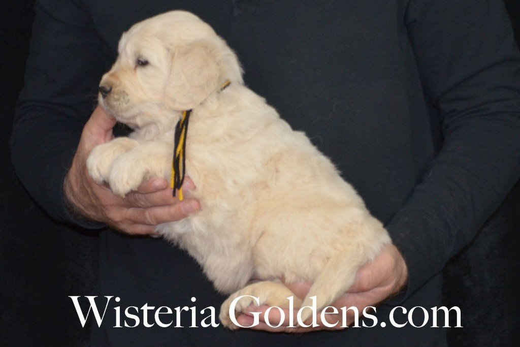 Holly Litter Black Boy - 8.0 lbs Holly/Thor Litter Born 01/25/2016 4 girls and 2 boys. 5 Weeks Pictures. Ready for their new homes on 3/21/16. wisteria goldens english cream golden retriever puppies for sale #englishcreamgoldenretriever #puppiesforsale #hollylitter