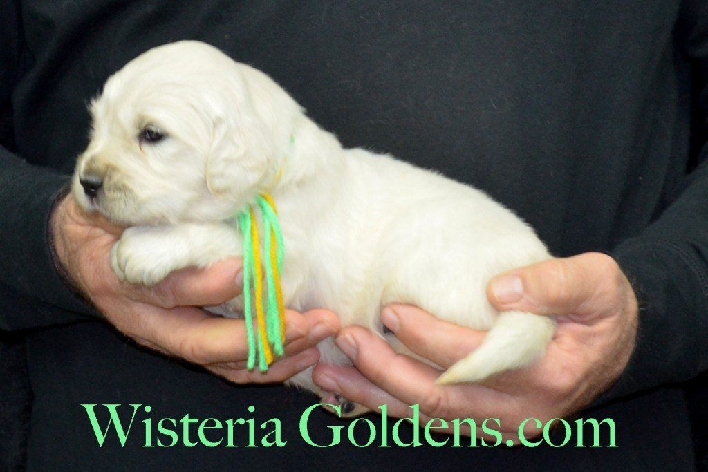 Holly LItter Lime Girl - 4.2 lbs Holly/Thor Holly Litter Born 01/25/2016 4 girls and 2 boys. Ready for their new homes on 3/21/16 English Cream Golden Retriever Puppies For Sale http://wisteriagoldens.com/available-puppies/holly-litter/