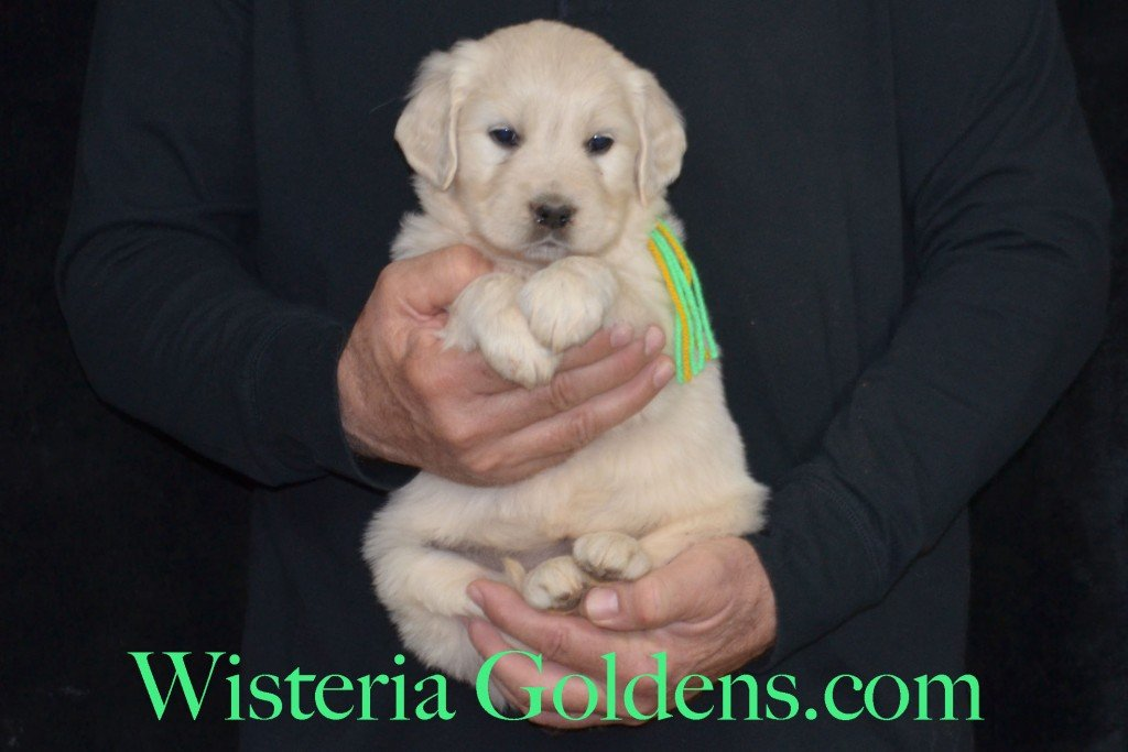 Holly Litter Lime Girl - 7.4 lbs Holly/Thor Litter Born 01/25/2016 4 girls and 2 boys. 5 Weeks Pictures. Ready for their new homes on 3/21/16. wisteria goldens english cream golden retriever puppies for sale #englishcreamgoldenretriever #puppiesforsale #hollylitter