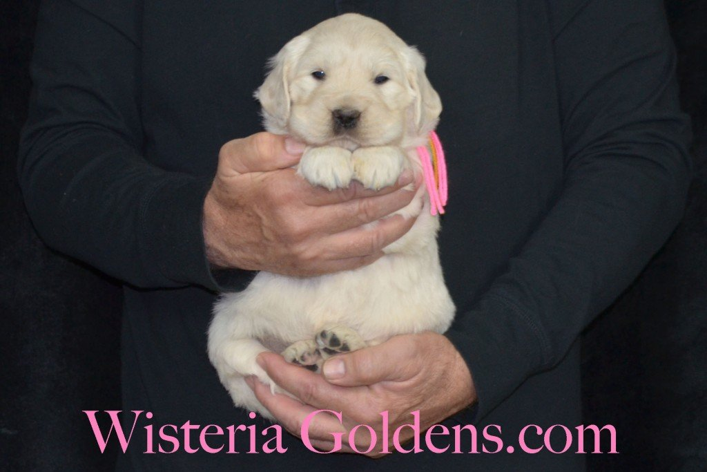 Holly Litter Pink Girl - 6.6 lbs Holly/Thor 4 Weeks Pictures Litter Born 01/25/2016 4 girls and 2 boys. Ready for their new homes on 3/21/16. English Cream Golden Retriever puppies for sale WisteriaGoldens.com