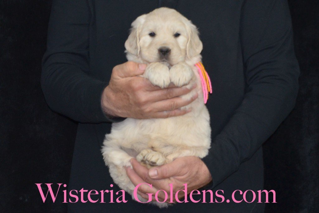 Holly Litter Pink Girl - 9.2 lbs Holly/Thor Litter Born 01/25/2016 4 girls and 2 boys. 5 Weeks Pictures. Ready for their new homes on 3/21/16. wisteria goldens english cream golden retriever puppies for sale #englishcreamgoldenretriever #puppiesforsale #hollylitter