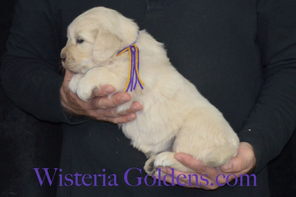 Holly Litter Purple Girl - 6.4 lbs Holly/Thor 4 Weeks Pictures Litter Born 01/25/2016 4 girls and 2 boys. Ready for their new homes on 3/21/16. English Cream Golden Retriever puppies for sale WisteriaGoldens.com