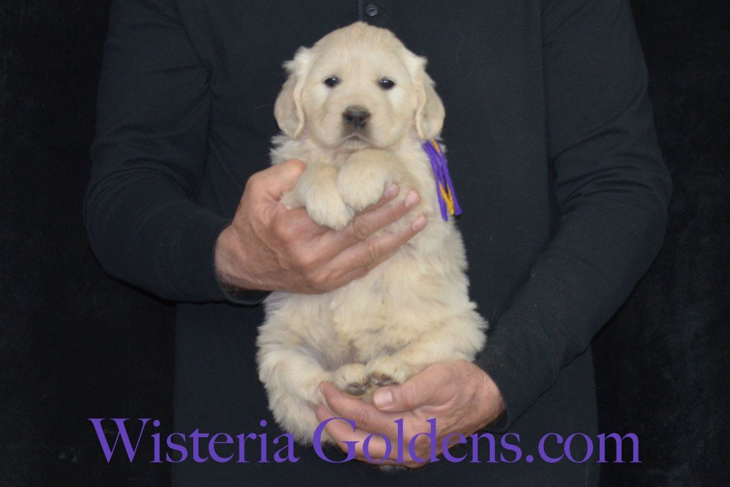 Holly Litter Purple Girl - 8.8 lbs Holly/Thor Litter Born 01/25/2016 4 girls and 2 boys. 5 Weeks Pictures. Ready for their new homes on 3/21/16. wisteria goldens english cream golden retriever puppies for sale #englishcreamgoldenretriever #puppiesforsale #hollylitter