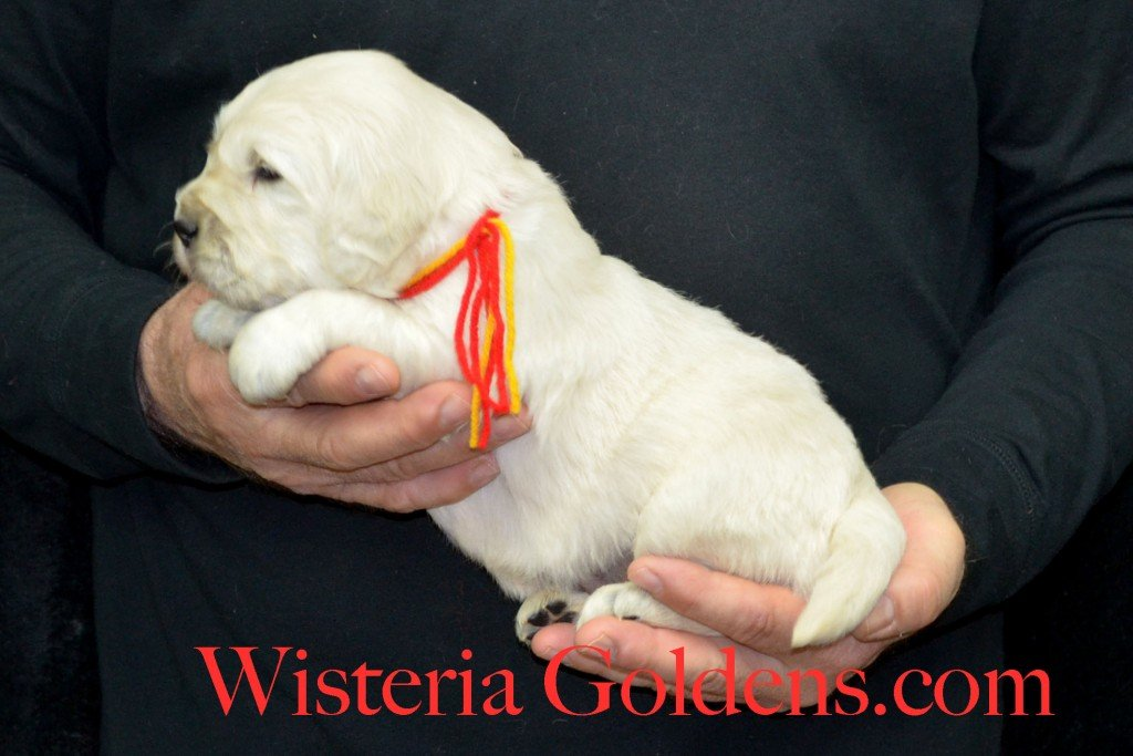 Holly LItter Red Boy - 5.6 lbs Holly/Thor Holly Litter Born 01/25/2016 4 girls and 2 boys. Ready for their new homes on 3/21/16 English Cream Golden Retriever Puppies For Sale http://wisteriagoldens.com/available-puppies/holly-litter/