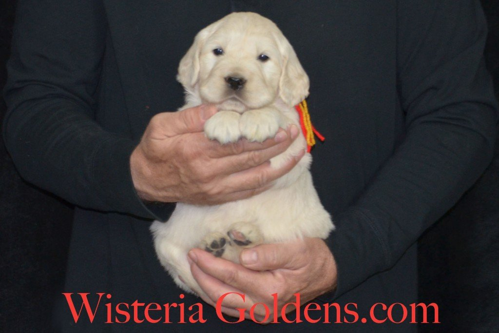 Holly Litter Red Boy - 7.0 lbs Holly/Thor 4 Weeks Pictures Litter Born 01/25/2016 4 girls and 2 boys. Ready for their new homes on 3/21/16. English Cream Golden Retriever puppies for sale WisteriaGoldens.com