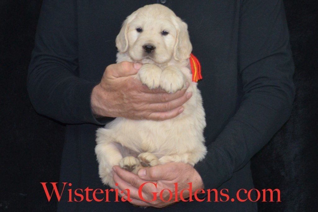 Holly Litter Red Boy - 9.8 lbs Holly/Thor Litter Born 01/25/2016 4 girls and 2 boys. 5 Weeks Pictures. Ready for their new homes on 3/21/16. wisteria goldens english cream golden retriever puppies for sale #englishcreamgoldenretriever #puppiesforsale #hollylitter