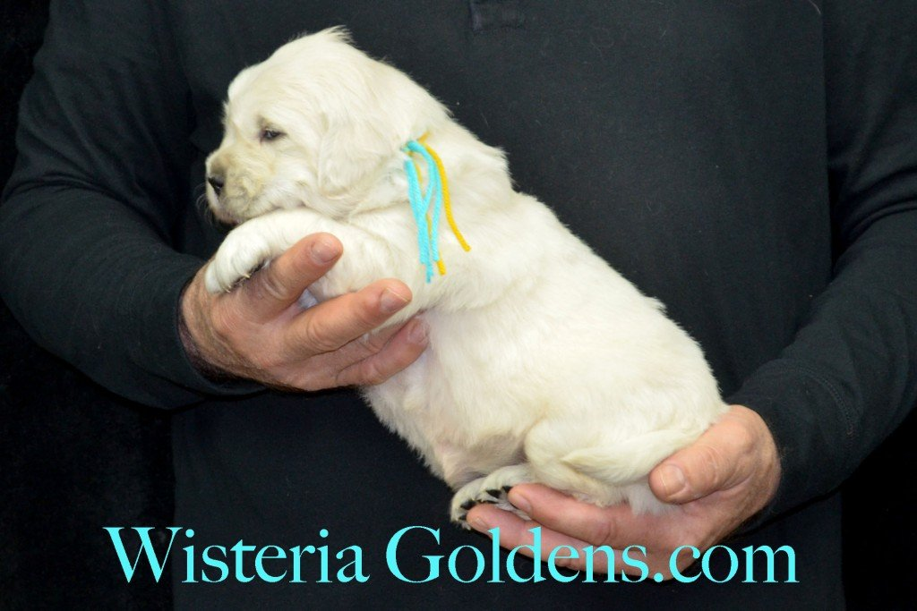 Holly LItter Teal Girl - 6.4 lbs Holly/Thor Holly Litter Born 01/25/2016 4 girls and 2 boys. Ready for their new homes on 3/21/16 English Cream Golden Retriever Puppies For Sale http://wisteriagoldens.com/available-puppies/holly-litter/