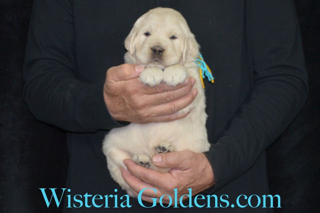 Holly Litter Teal Girl - 7.6 lbs Holly/Thor 4 Weeks Pictures Litter Born 01/25/2016 4 girls and 2 boys. Ready for their new homes on 3/21/16. English Cream Golden Retriever puppies for sale WisteriaGoldens.com