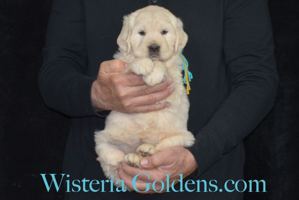 Holly Litter Teal Girl - 9.4 lbs Holly/Thor Litter Born 01/25/2016 4 girls and 2 boys. 5 Weeks Pictures. Ready for their new homes on 3/21/16. wisteria goldens english cream golden retriever puppies for sale #englishcreamgoldenretriever #puppiesforsale #hollylitter