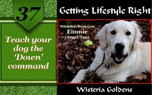 Teach your dog the down command a guide to dog training from wisteria goldens