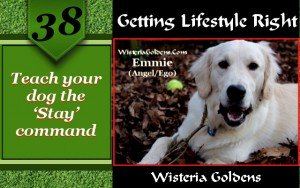 Teach your dog the stay command a training by wisteria goldens