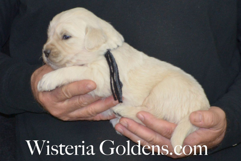 Sunny Litter Three 3 Weeks Pictures Black Boy - 4.0 lbs Sunny/Ego Litter Born 01-30-2016 6 girls and 3 boys. Ready for new homes 3/25/2016. Contact me about current puppy availability. http://wisteriagoldens.com/available-puppies/sunny-litter/ #englishcreamgoldenretriever #puppiesforsale #SunnyLitter #puppypictures #wisteriagoldens