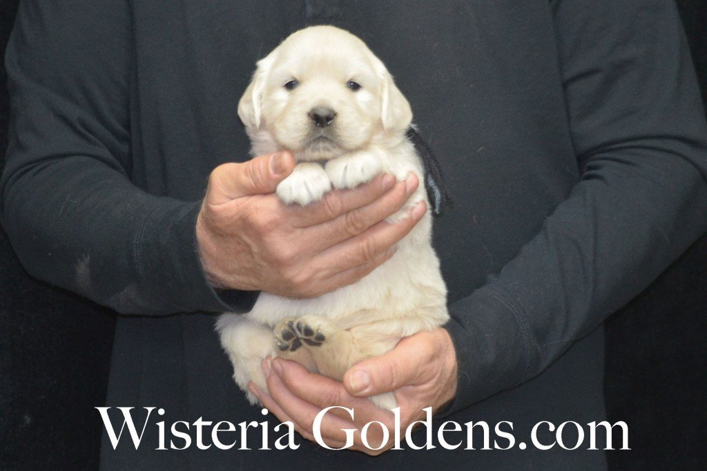 Sunny Litter Black Boy - 5.0 lbs Sunny/Ego Litter Born 01-30-2016 6 girls and 3 boys. Ready for new homes on 3/26/2016. English Cream Golden Retriever puppies for sale Wisteria Goldens Sunny Litter Ego Litter 4 Weeks Pictures #puppypictures #englishcreamgoldenretriever #puppiesforsale #wisteriagoldens #sunnylitter