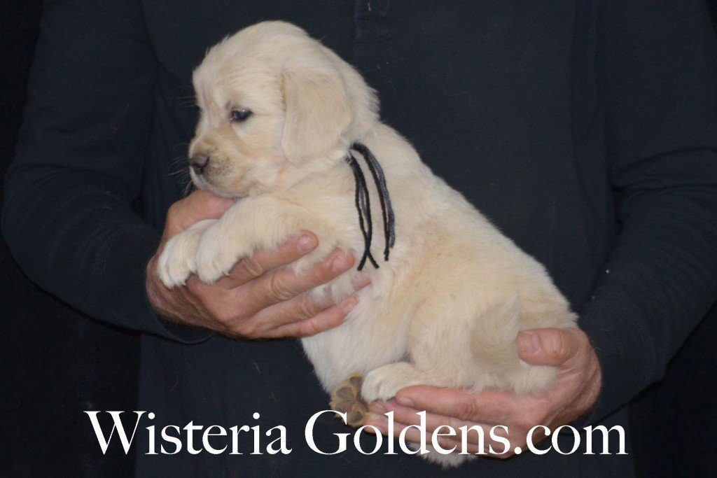 Sunny Litter Black Boy - 7.6 lbs Sunny/Ego Litter Born 01-30-2016 6 girls and 3 boys. Ready for new homes on 3/26/2016. English Cream Golden Retrievers puppies for sale Wisteria Goldens focuses on raising quality and healthy English Golden Retrievers. Visit our website for availability information, information for new owners, and how to contact us for purchasing your own Wisteria Golden English Cream Golden Retriever puppy! #englishcreamgoldenretriever #puppiesforsale #sunnylitter