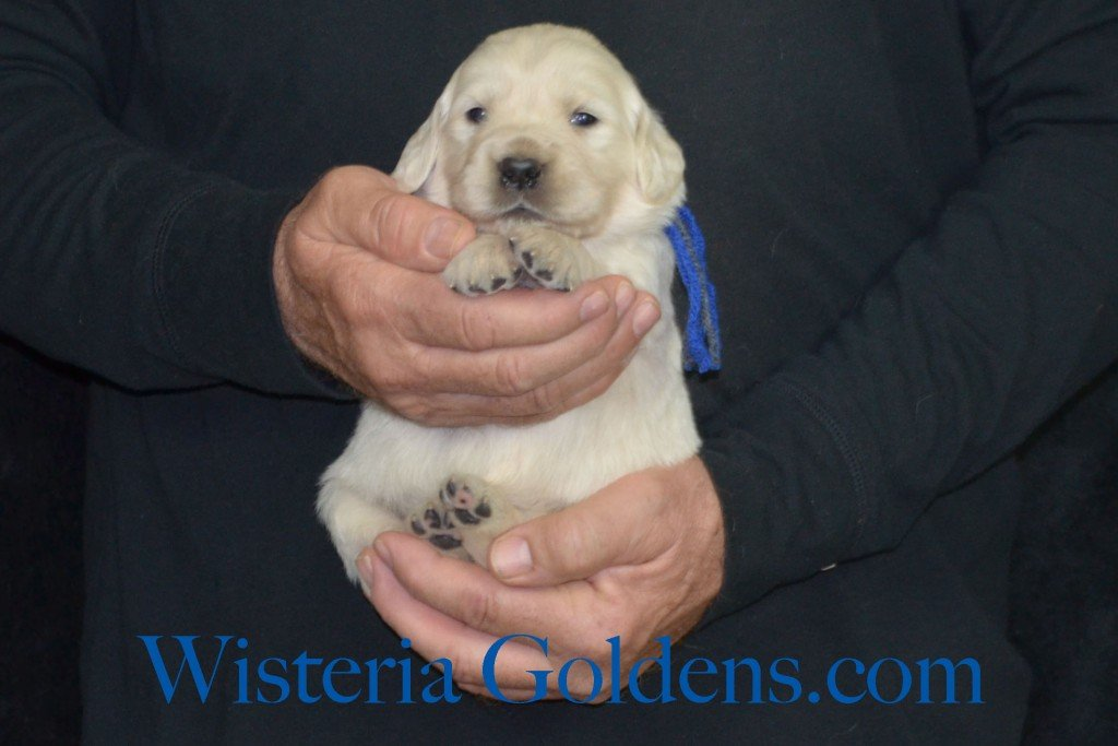 Sunny Litter Three 3 Weeks Pictures Blue Boy - 3.6 lbs Sunny/Ego Litter Born 01-30-2016 6 girls and 3 boys. Ready for new homes 3/25/2016. Contact me about current puppy availability. http://wisteriagoldens.com/available-puppies/sunny-litter/ #englishcreamgoldenretriever #puppiesforsale #SunnyLitter #puppypictures #wisteriagoldens
