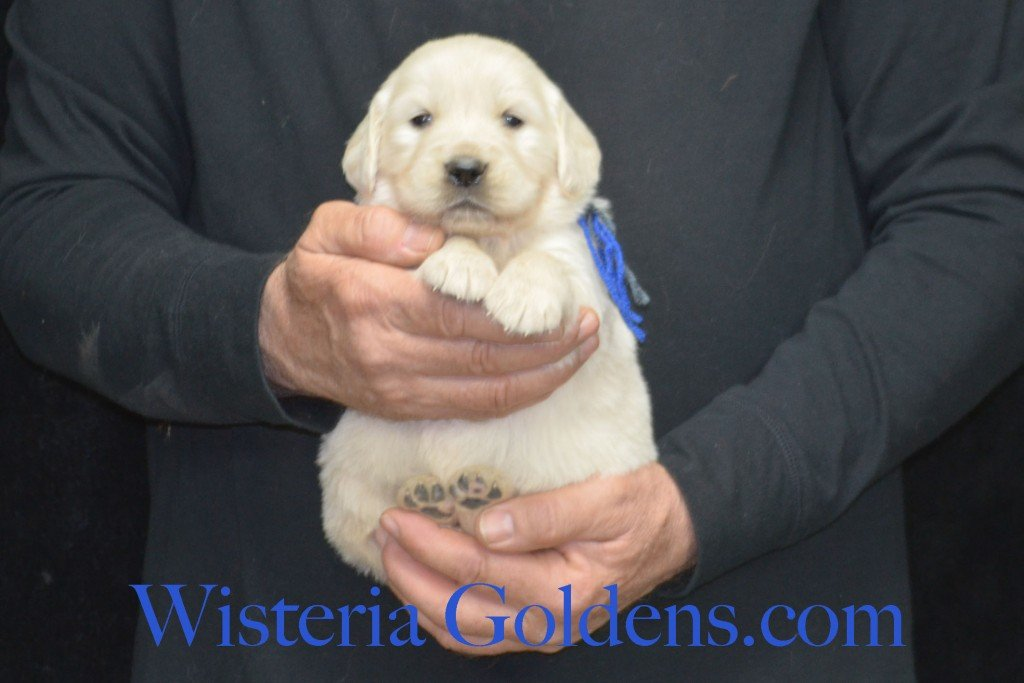 Sunny Litter Blue Boy - 4.6 lbs Sunny/Ego Litter Born 01-30-2016 6 girls and 3 boys. Ready for new homes on 3/26/2016. English Cream Golden Retriever puppies for sale Wisteria Goldens Sunny Litter Ego Litter 4 Weeks Pictures #puppypictures #englishcreamgoldenretriever #puppiesforsale #wisteriagoldens #sunnylitter
