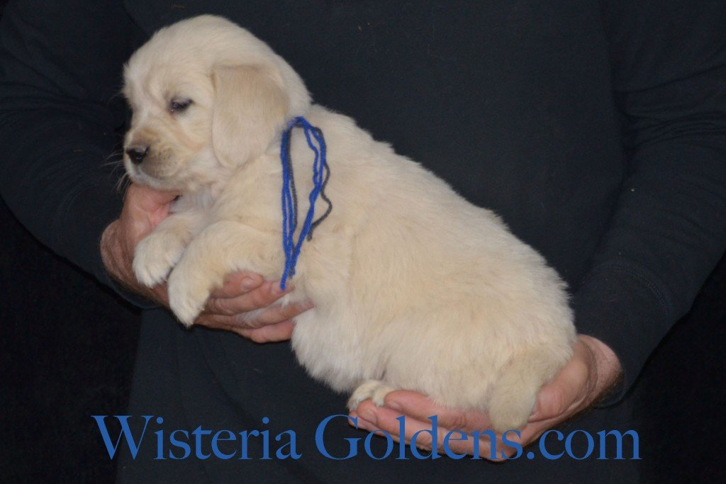 Sunny Litter Blue Boy - 7.6 lbs Sunny/Ego Litter Born 01-30-2016 6 girls and 3 boys. Ready for new homes on 3/26/2016. English Cream Golden Retrievers puppies for sale Wisteria Goldens focuses on raising quality and healthy English Golden Retrievers. Visit our website for availability information, information for new owners, and how to contact us for purchasing your own Wisteria Golden English Cream Golden Retriever puppy! #englishcreamgoldenretriever #puppiesforsale #sunnylitter