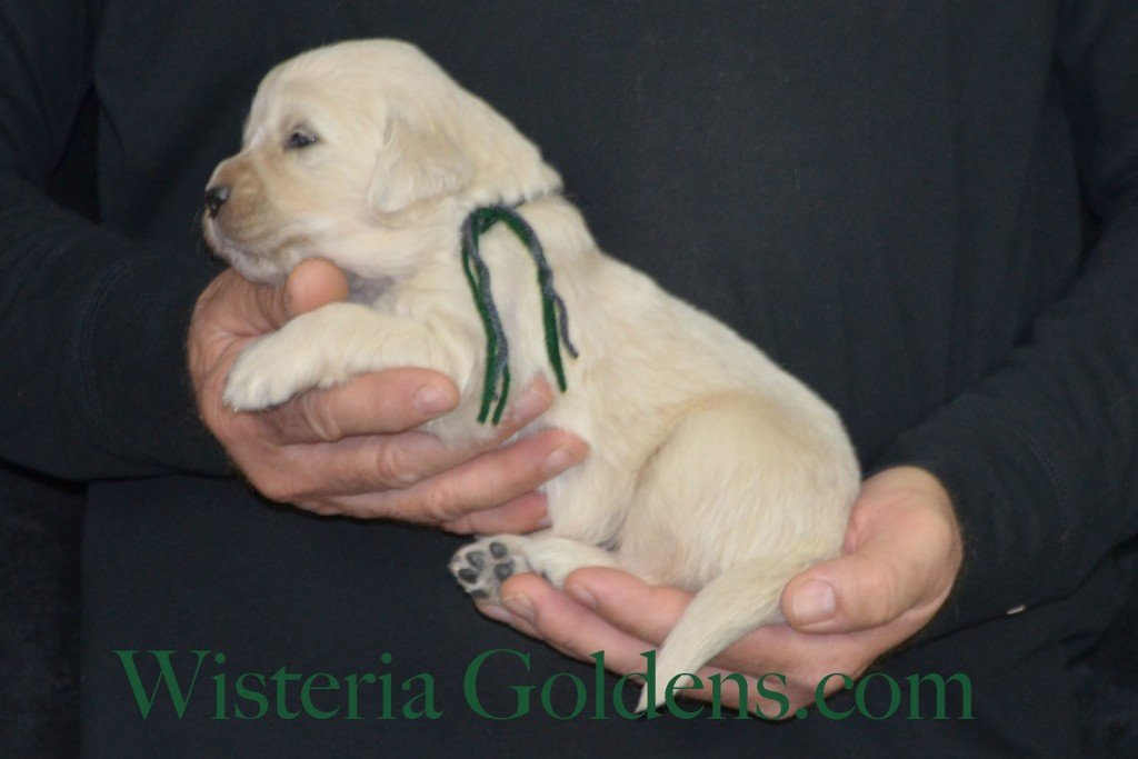 Sunny Litter Three 3 Weeks Pictures Green Boy - 3.2 lbs Sunny/Ego Litter Born 01-30-2016 6 girls and 3 boys. Ready for new homes 3/25/2016. Contact me about current puppy availability. http://wisteriagoldens.com/available-puppies/sunny-litter/ #englishcreamgoldenretriever #puppiesforsale #SunnyLitter #puppypictures #wisteriagoldens