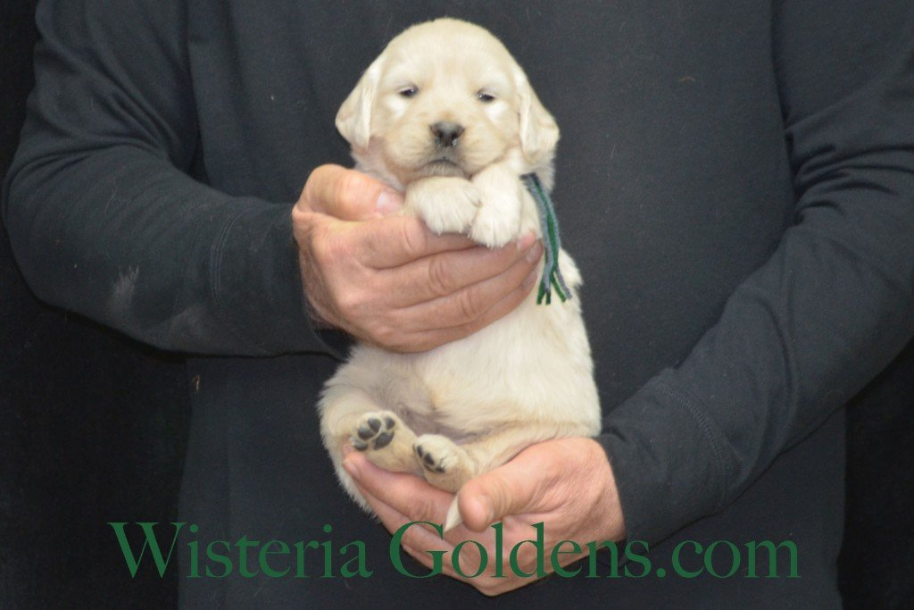 Sunny Litter Green Boy - 4.2 lbs Sunny/Ego Litter Born 01-30-2016 6 girls and 3 boys. Ready for new homes on 3/26/2016. English Cream Golden Retriever puppies for sale Wisteria Goldens Sunny Litter Ego Litter 4 Weeks Pictures #puppypictures #englishcreamgoldenretriever #puppiesforsale #wisteriagoldens #sunnylitter