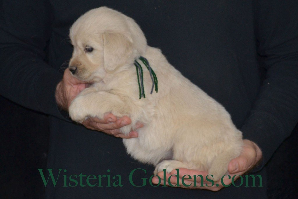 Sunny Litter Green Boy - 6.6 lbs Sunny/Ego Litter Born 01-30-2016 6 girls and 3 boys. Ready for new homes on 3/26/2016. English Cream Golden Retrievers puppies for sale Wisteria Goldens focuses on raising quality and healthy English Golden Retrievers. Visit our website for availability information, information for new owners, and how to contact us for purchasing your own Wisteria Golden English Cream Golden Retriever puppy! #englishcreamgoldenretriever #puppiesforsale #sunnylitter