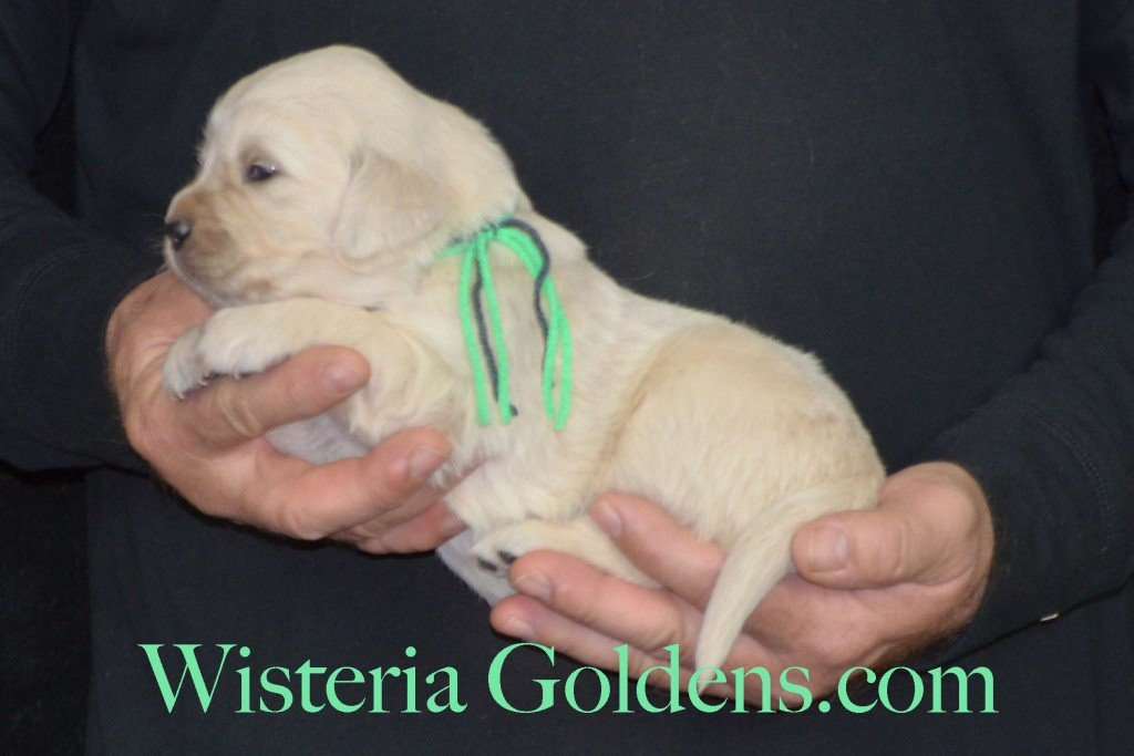 Sunny Litter Three 3 Weeks Pictures Lime Girl - 3.6 lbs Sunny/Ego Litter Born 01-30-2016 6 girls and 3 boys. Ready for new homes 3/25/2016. Contact me about current puppy availability. http://wisteriagoldens.com/available-puppies/sunny-litter/ #englishcreamgoldenretriever #puppiesforsale #SunnyLitter #puppypictures #wisteriagoldens