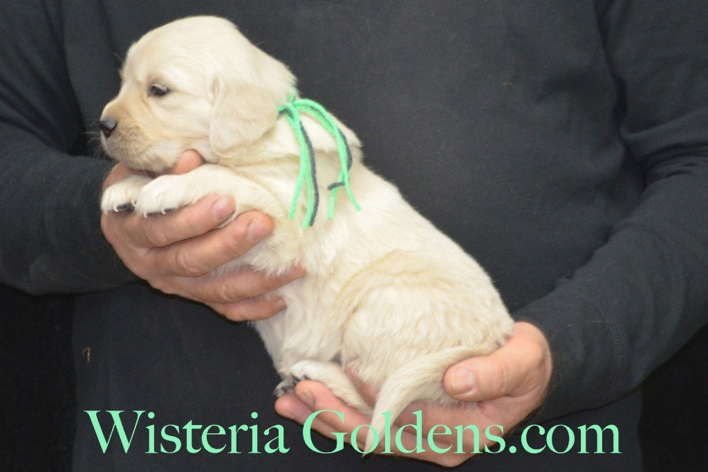 Sunny Litter Lime Girl - 4.6 lbs Sunny/Ego Litter Born 01-30-2016 6 girls and 3 boys. Ready for new homes on 3/26/2016. English Cream Golden Retriever puppies for sale Wisteria Goldens Sunny Litter Ego Litter 4 Weeks Pictures #puppypictures #englishcreamgoldenretriever #puppiesforsale #wisteriagoldens #sunnylitter