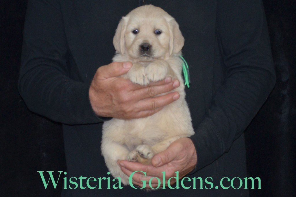 Sunny Litter Lime Girl - 7.4 lbs Sunny/Ego Litter Born 01-30-2016 6 girls and 3 boys. Ready for new homes on 3/26/2016. English Cream Golden Retrievers puppies for sale Wisteria Goldens focuses on raising quality and healthy English Golden Retrievers. Visit our website for availability information, information for new owners, and how to contact us for purchasing your own Wisteria Golden English Cream Golden Retriever puppy! #englishcreamgoldenretriever #puppiesforsale #sunnylitter