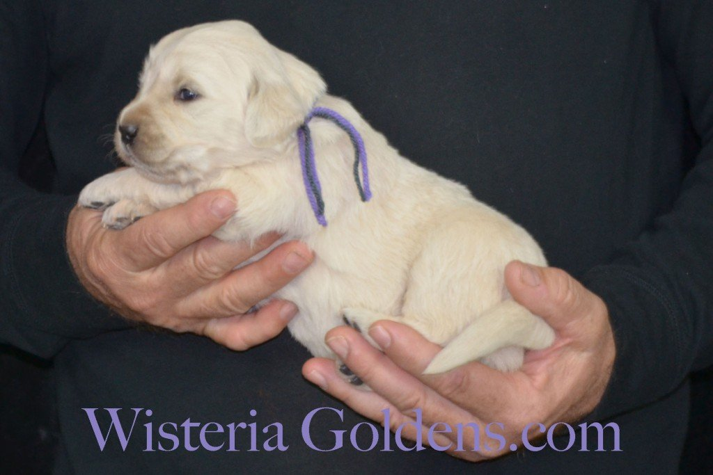Sunny Litter Three 3 Weeks Pictures Lt Purple Girl - 3.6 lbs Sunny/Ego Litter Born 01-30-2016 6 girls and 3 boys. Ready for new homes 3/25/2016. Contact me about current puppy availability. http://wisteriagoldens.com/available-puppies/sunny-litter/ #englishcreamgoldenretriever #puppiesforsale #SunnyLitter #puppypictures #wisteriagoldens