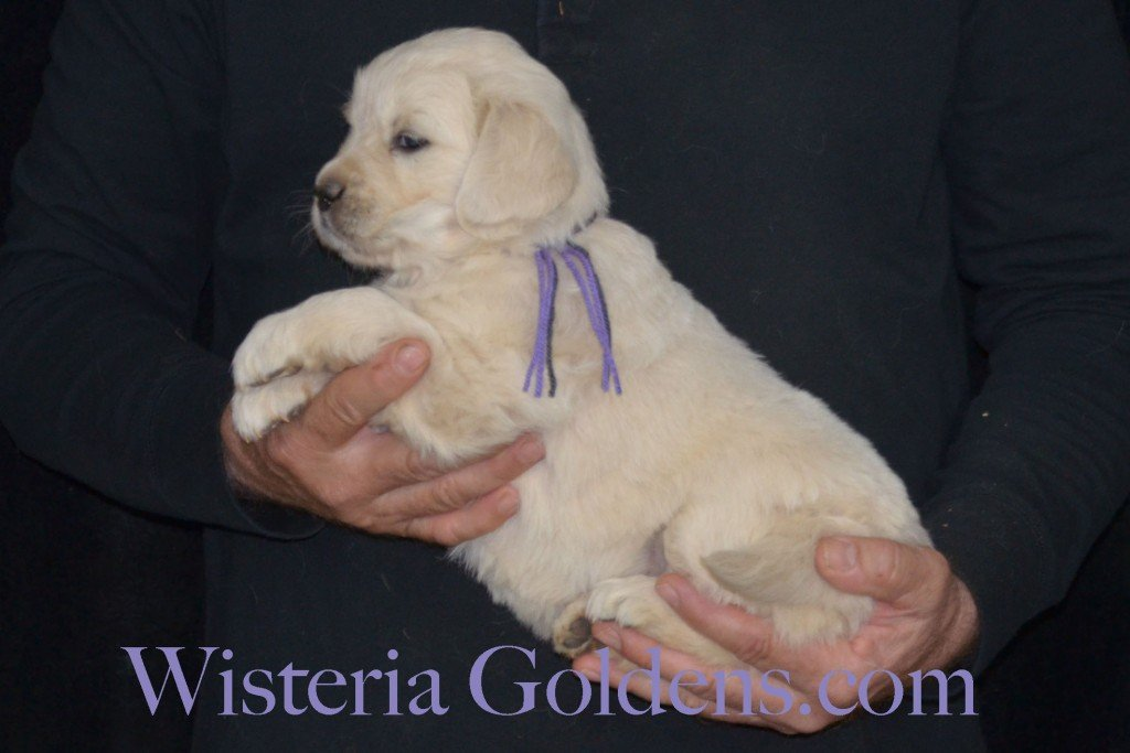 Sunny Litter Lt. Purple Girl - 7.2 lbs Sunny/Ego Litter Born 01-30-2016 6 girls and 3 boys. Ready for new homes on 3/26/2016. English Cream Golden Retrievers puppies for sale Wisteria Goldens focuses on raising quality and healthy English Golden Retrievers. Visit our website for availability information, information for new owners, and how to contact us for purchasing your own Wisteria Golden English Cream Golden Retriever puppy! #englishcreamgoldenretriever #puppiesforsale #sunnylitter