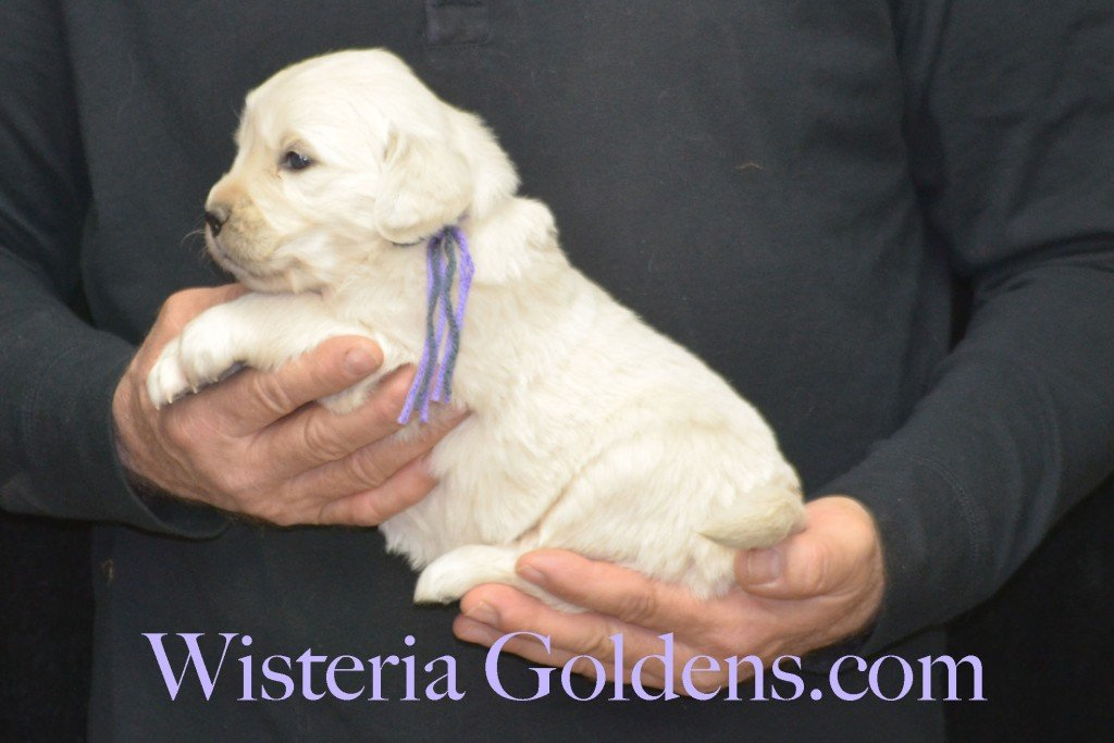 Sunny Litter Lt. Purple Girl - 4.8 lbs Sunny/Ego Litter Born 01-30-2016 6 girls and 3 boys. Ready for new homes on 3/26/2016. English Cream Golden Retriever puppies for sale Wisteria Goldens Sunny Litter Ego Litter 4 Weeks Pictures #puppypictures #englishcreamgoldenretriever #puppiesforsale #wisteriagoldens #sunnylitter