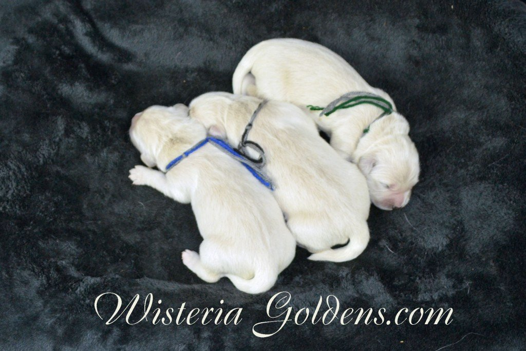 Sunny Litter The Boys Sunny/Ego Litter Born 01-30-2016 6 girls and 3 boys.Ready for new homes on 3/26/2016. Visit Sunny's Litter page on our website http://wisteriagoldens.com/available-puppies/sunny-litter/ #englishcreamgoldenretriever #puppiesforsale