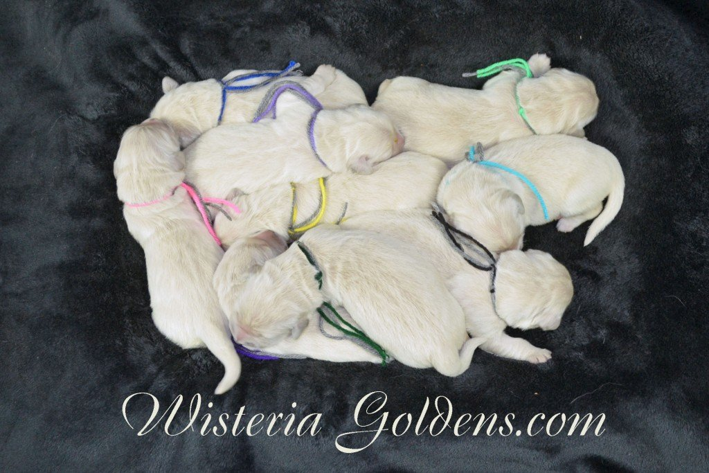 Sunny Litter The Group Sunny/Ego Litter Born 01-30-2016 6 girls and 3 boys.Ready for new homes on 3/26/2016. Visit Sunny's Litter page on our website http://wisteriagoldens.com/available-puppies/sunny-litter/ #englishcreamgoldenretriever #puppiesforsale