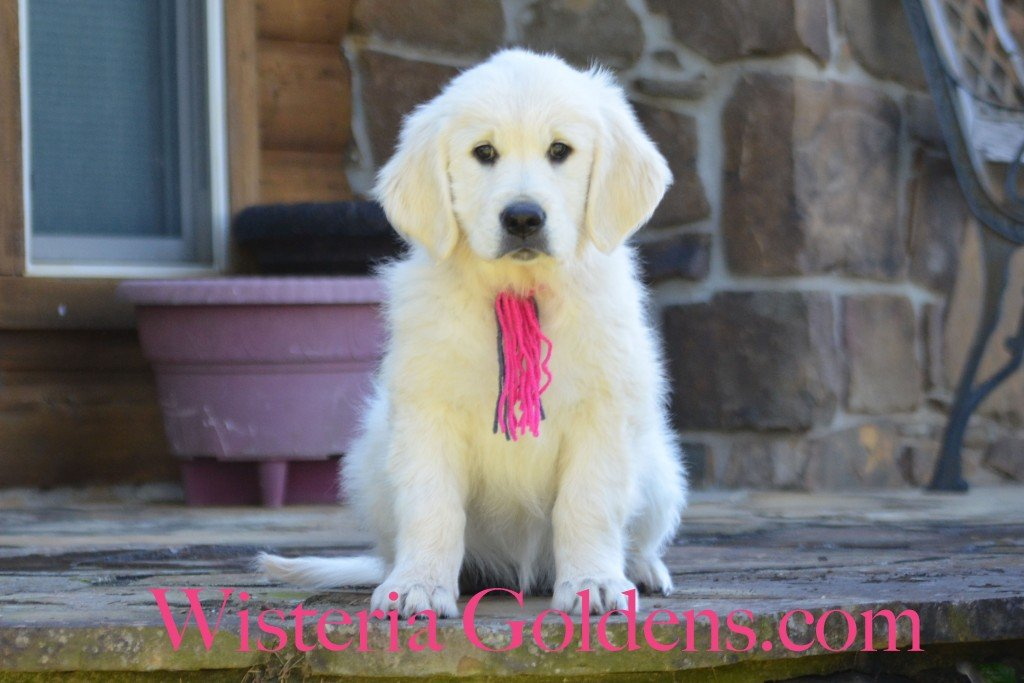"""Sunny Litter 11 weeks English cream golden retriever puppy for sale. Pink Girl is a very sweet, affectionate girl. She loves to cuddle and especially likes tummy rubs in your lap. Indoors she is more quiet and happy to play quietly with a toy. Outside she is outgoing, playful, curious,and ready to romp. She is doing well with sit, down, and short """"right here."""" She has a soft personality and desire to please -- kind, gentle girl. She is doing well with basic leash. Introduced to """"get it, bring it, give it,"""" and does pretty well, at first, but then loses interest. She is doing well in the crate -- fusses some, but does settle. She is light cream in color and has ower-mid ranger energy. She weighs 23.4 lbs"""