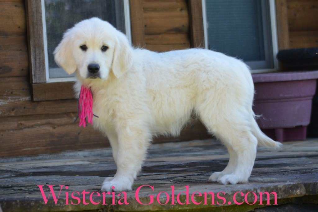 "Sunny Litter 11 weeks English cream golden retriever puppy for sale. Pink Girl is a very sweet, affectionate girl. She loves to cuddle and especially likes tummy rubs in your lap. Indoors she is more quiet and happy to play quietly with a toy. Outside she is outgoing, playful, curious,and ready to romp. She is doing well with sit, down, and short ""right here."" She has a soft personality and desire to please -- kind, gentle girl. She is doing well with basic leash. Introduced to ""get it, bring it, give it,"" and does pretty well, at first, but then loses interest. She is doing well in the crate -- fusses some, but does settle. She is light cream in color and has ower-mid ranger energy. She weighs 23.4 lbs"