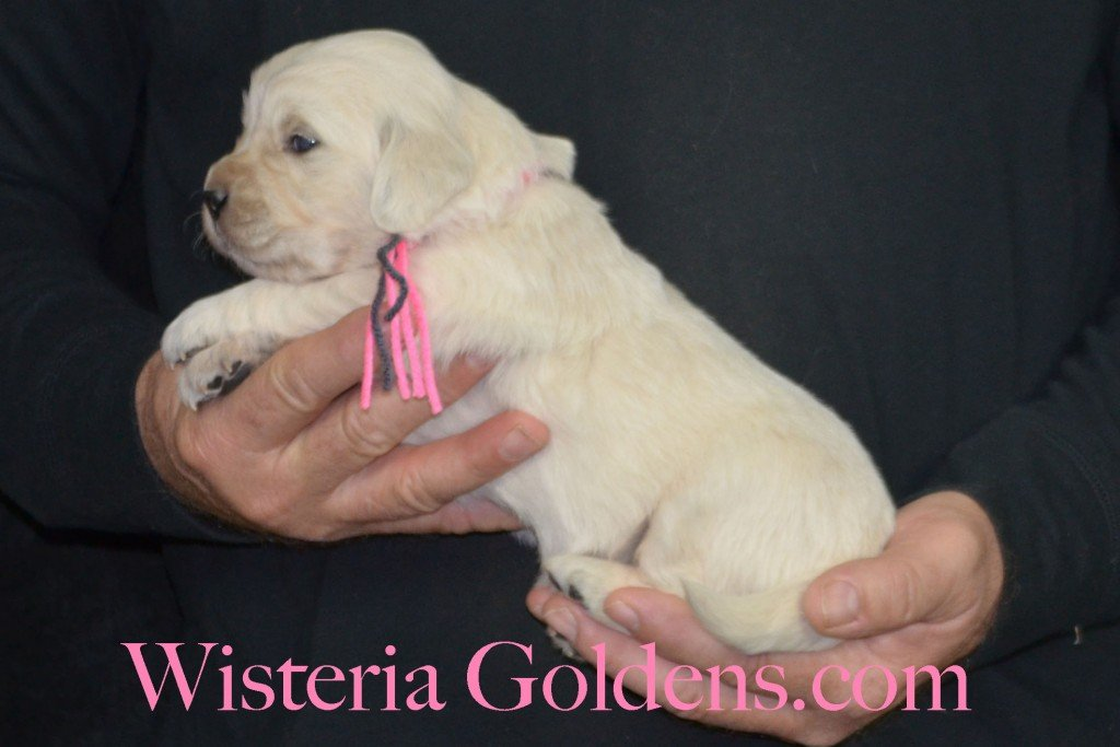 Sunny Litter Three 3 Weeks Pictures Pink Girl - 3.6 lbs Sunny/Ego Litter Born 01-30-2016 6 girls and 3 boys. Ready for new homes 3/25/2016. Contact me about current puppy availability. http://wisteriagoldens.com/available-puppies/sunny-litter/ #englishcreamgoldenretriever #puppiesforsale #SunnyLitter #puppypictures #wisteriagoldens