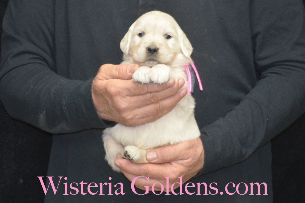 Sunny Litter Pink Girl - 4.6 lbs Sunny/Ego Litter Born 01-30-2016 6 girls and 3 boys. Ready for new homes on 3/26/2016. English Cream Golden Retriever puppies for sale Wisteria Goldens Sunny Litter Ego Litter 4 Weeks Pictures #puppypictures #englishcreamgoldenretriever #puppiesforsale #wisteriagoldens #sunnylitter