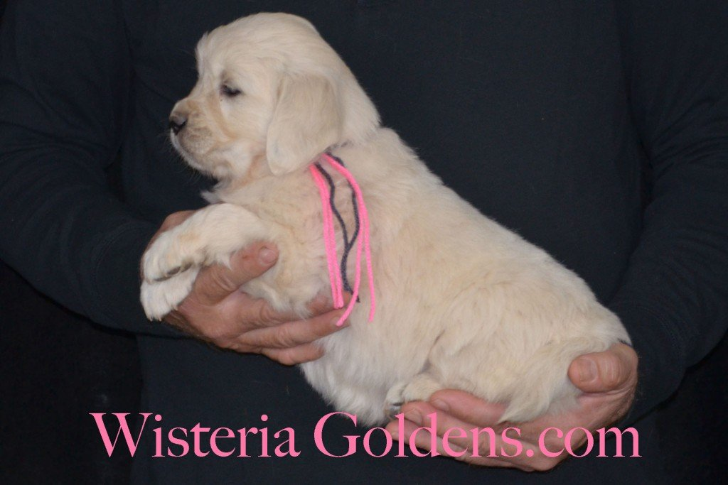 Sunny Litter Pink Girl - 7.4 lbs Sunny/Ego Litter Born 01-30-2016 6 girls and 3 boys. Ready for new homes on 3/26/2016. English Cream Golden Retrievers puppies for sale Wisteria Goldens focuses on raising quality and healthy English Golden Retrievers. Visit our website for availability information, information for new owners, and how to contact us for purchasing your own Wisteria Golden English Cream Golden Retriever puppy! #englishcreamgoldenretriever #puppiesforsale #sunnylitter