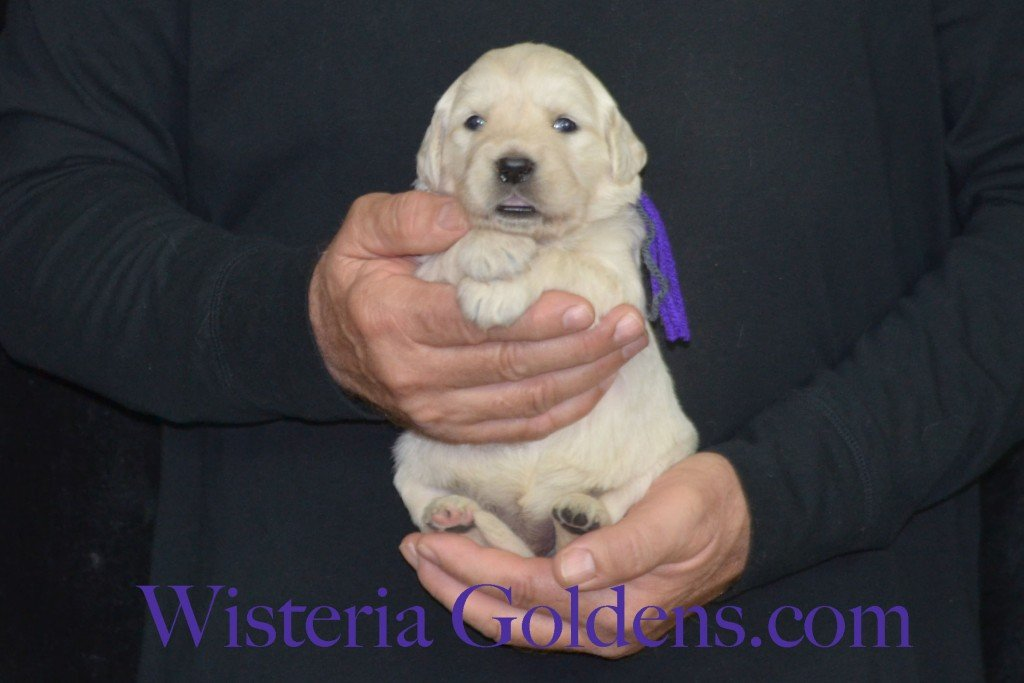 Sunny Litter Three 3 Weeks Pictures Purple Girl - 3.6 lbs Sunny/Ego Litter Born 01-30-2016 6 girls and 3 boys. Ready for new homes 3/25/2016. Contact me about current puppy availability. http://wisteriagoldens.com/available-puppies/sunny-litter/ #englishcreamgoldenretriever #puppiesforsale #SunnyLitter #puppypictures #wisteriagoldens