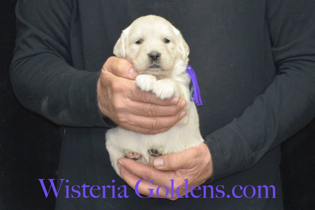 Sunny Litter Purple Girl - 5.0 lbs Sunny/Ego Litter Born 01-30-2016 6 girls and 3 boys. Ready for new homes on 3/26/2016. English Cream Golden Retriever puppies for sale Wisteria Goldens Sunny Litter Ego Litter 4 Weeks Pictures #puppypictures #englishcreamgoldenretriever #puppiesforsale #wisteriagoldens #sunnylitter
