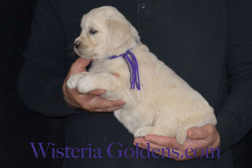 Sunny Litter Purple Girl - 7.4 lbs Sunny/Ego Litter Born 01-30-2016 6 girls and 3 boys. Ready for new homes on 3/26/2016. English Cream Golden Retrievers puppies for sale Wisteria Goldens focuses on raising quality and healthy English Golden Retrievers. Visit our website for availability information, information for new owners, and how to contact us for purchasing your own Wisteria Golden English Cream Golden Retriever puppy! #englishcreamgoldenretriever #puppiesforsale #sunnylitter
