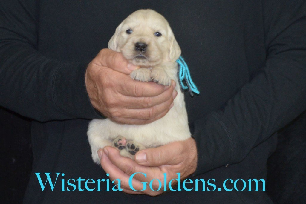 Sunny Litter Three 3 Weeks Pictures Teal Girl - 3.8 Sunny/Ego Litter Born 01-30-2016 6 girls and 3 boys. Ready for new homes 3/25/2016. Contact me about current puppy availability. http://wisteriagoldens.com/available-puppies/sunny-litter/ #englishcreamgoldenretriever #puppiesforsale #SunnyLitter #puppypictures #wisteriagoldens