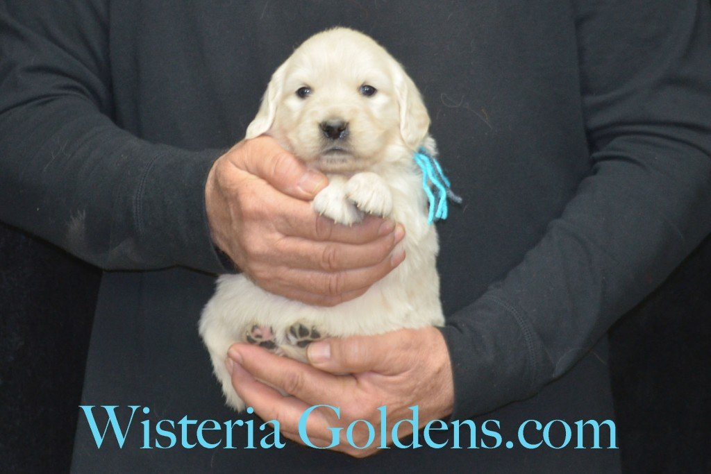 Sunny Litter Teal Girl - 5.0 lbs Sunny/Ego Litter Born 01-30-2016 6 girls and 3 boys. Ready for new homes on 3/26/2016. English Cream Golden Retriever puppies for sale Wisteria Goldens Sunny Litter Ego Litter 4 Weeks Pictures #puppypictures #englishcreamgoldenretriever #puppiesforsale #wisteriagoldens #sunnylitter